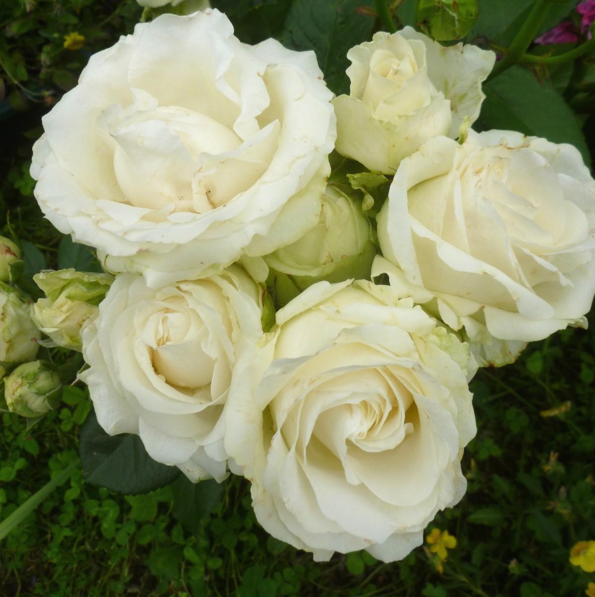 Роза чайно-гибридная Аваланж (2)