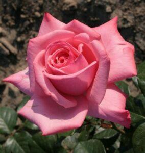Роза чайно-гибридная Мерхен Кененген