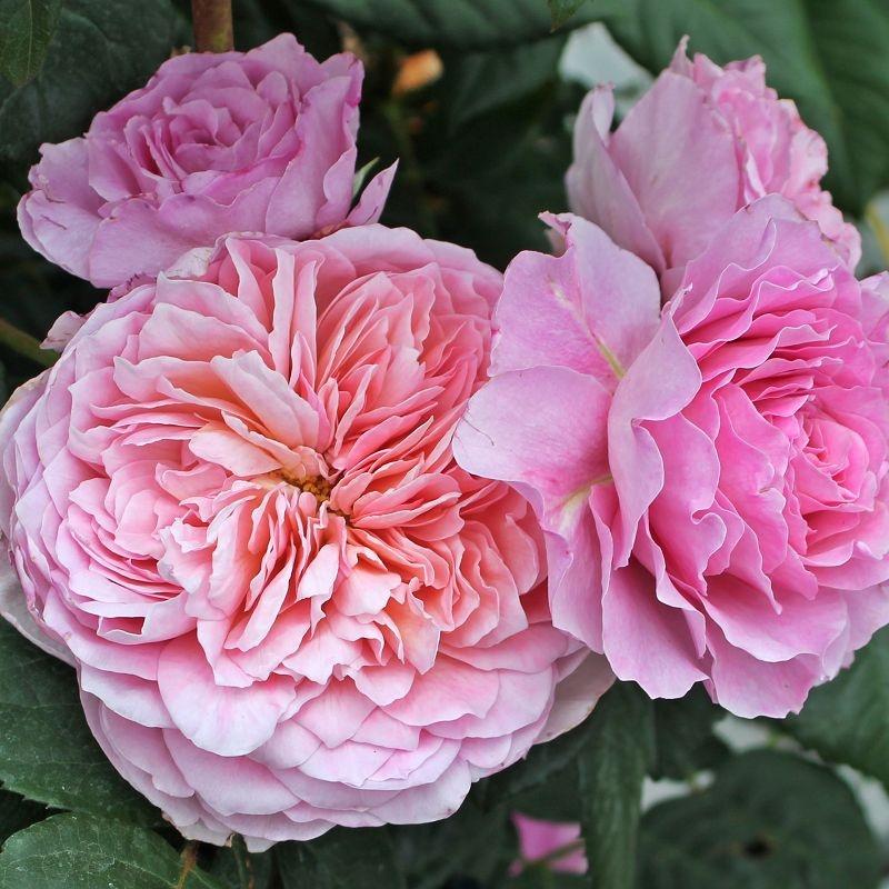 Роза Чайно-Гибридная Айсфогель (2)