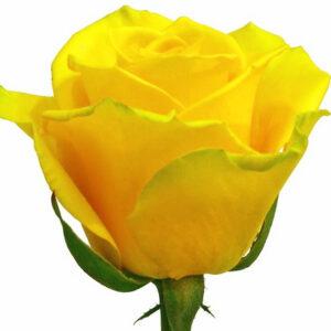 Роза Платинум