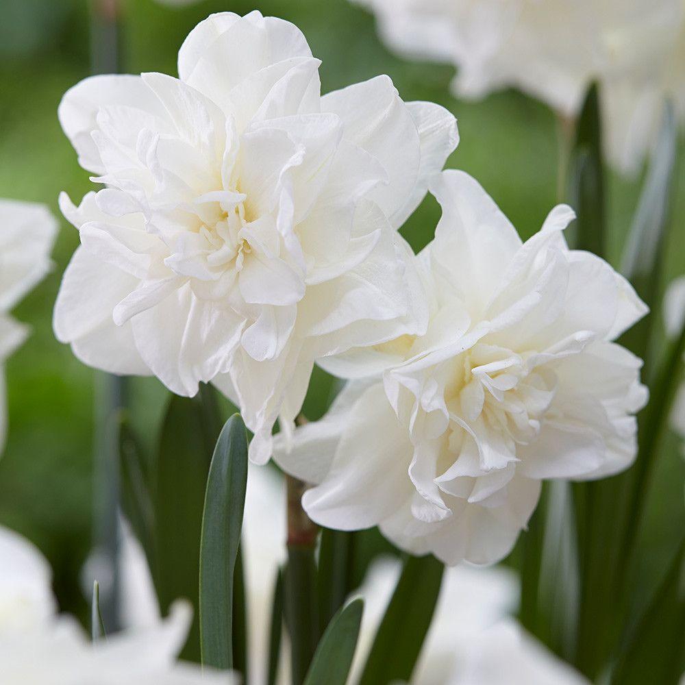 Нарцисс махровый Сноуболл