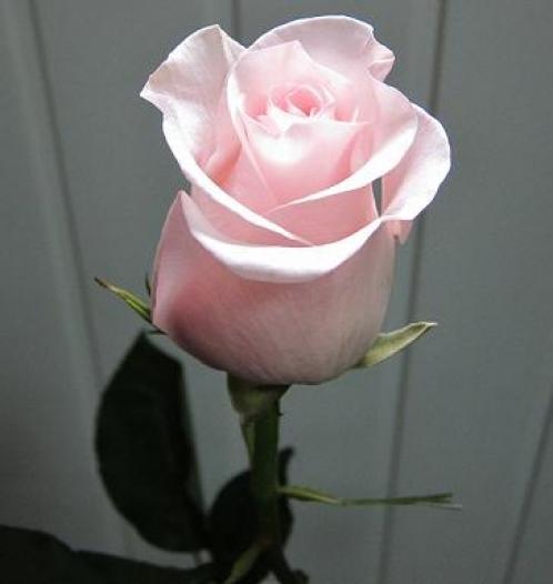 Роза Титаник (3)