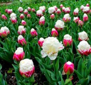 Тюльпан пионовидный Дабл Полар