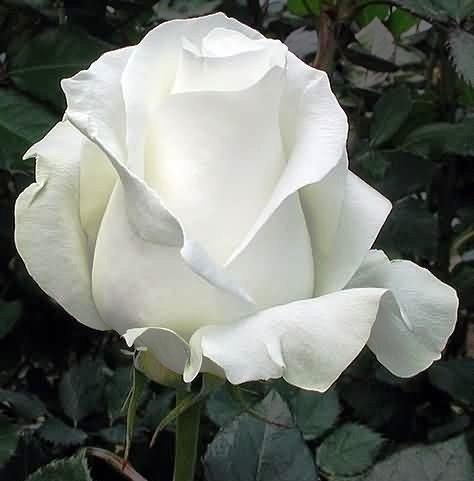 Роза Тенека (3)