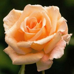 Роза Оранж