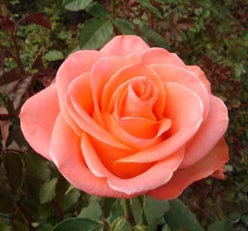 Роза Вау (2)