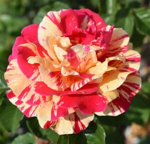 Роза Вариегата ди Барни