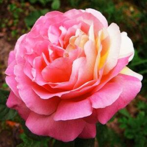Роза Циклоп