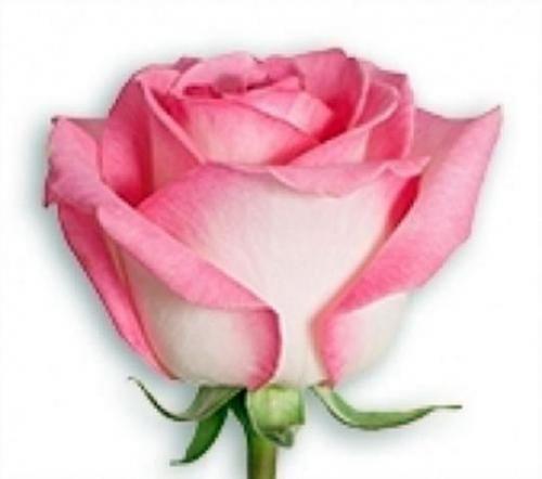 Роза Невеста (2)