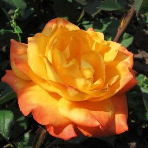 Роза Огненный Дракон