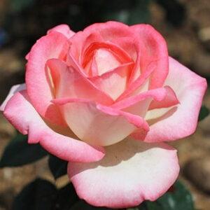 Роза Невеста