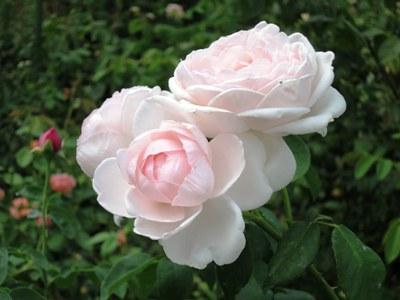 Роза Невеста (3)