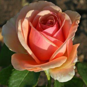 Роза чайно-гибридная  Кинг Конг