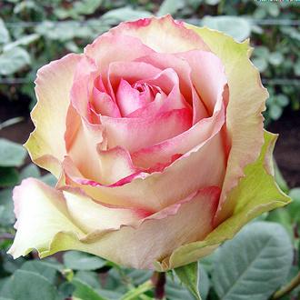 Роза Эсперанса