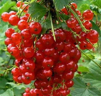 Красная смородина Дарница (2)