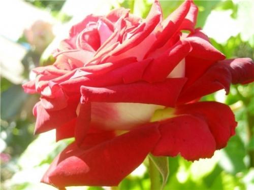 Роза Осирия (3)