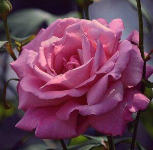 Роза ЧАЙНО-ГИБРИДНАЯ Рафаэлло