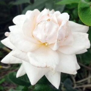 Роза Лебединое озеро