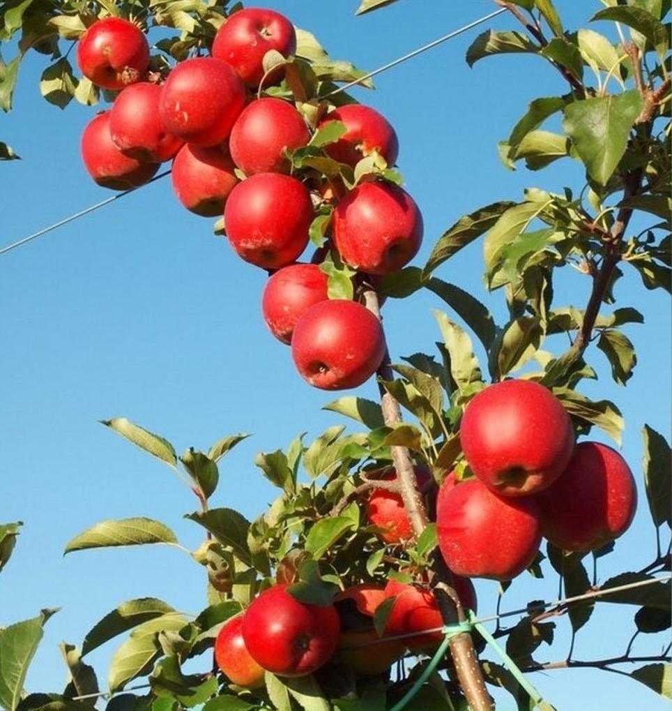 Яблоня Гала Маст (2)
