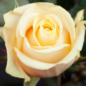 Роза Талея