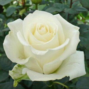 Роза чайно-гибридная Тинеке