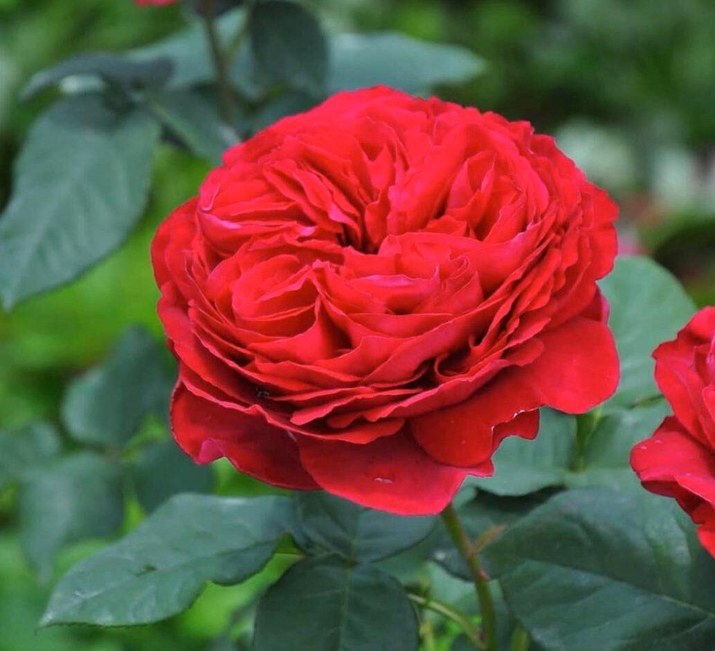 Роза ПАРКОВАЯ Бенджамин Бриттен (2)