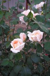 Роза Эмили Грей (2)