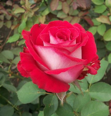 Роза Осирия (2)