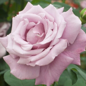 Роза Мадам Экзюпери