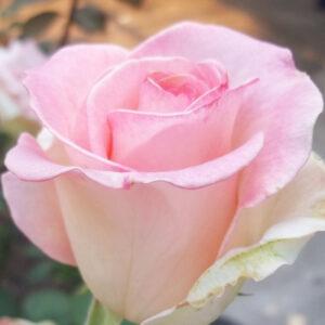 Роза Росинка