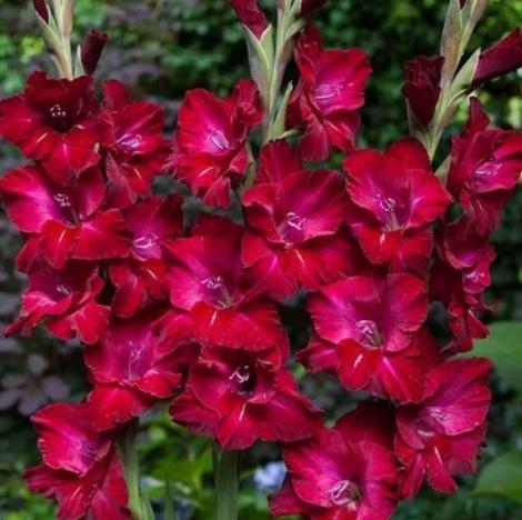 Гладиолус Крупноцветковый Дот Ком