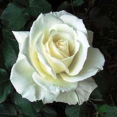 Роза Тенека