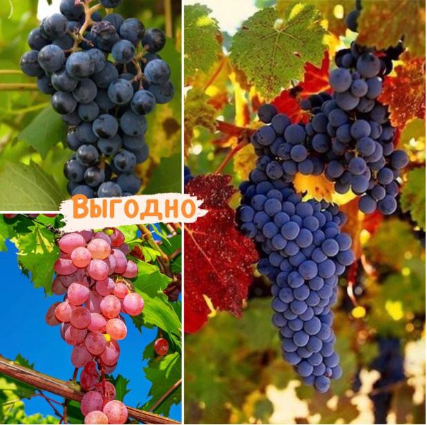 Тройная выгода винограда! (морозоустойчивый)