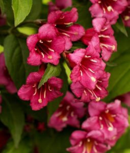 Вейгела цветущая «Бристоль Руби»