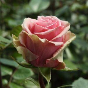 Роза чайно-гибридная Геральдина
