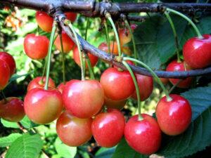 Черешня крупноплодная розовая Садко