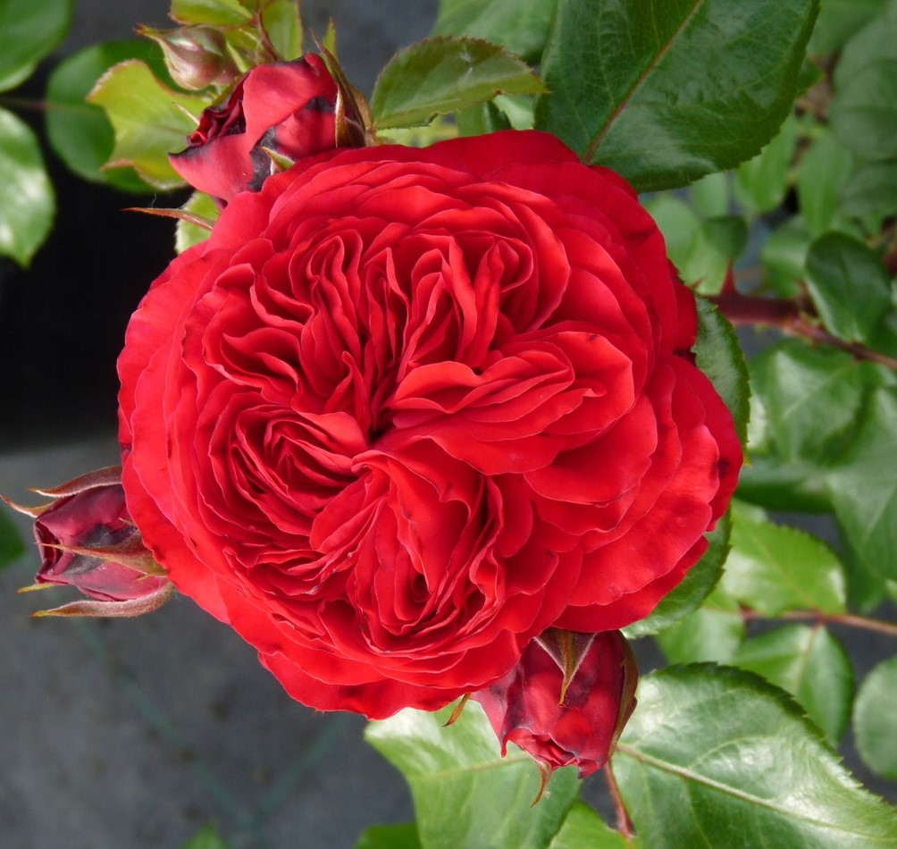 Роза флорибунда Ред Леонардо Да Винчи (2)