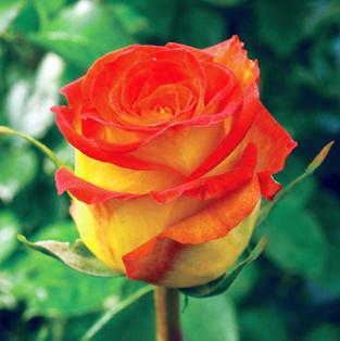 Роза Циркус (3)