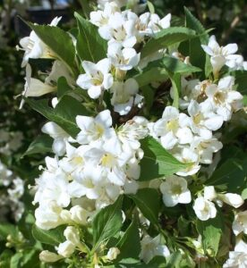 Вейгела цветущая «Бристол Сноуфлейк»