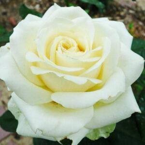 Роза Эдванс