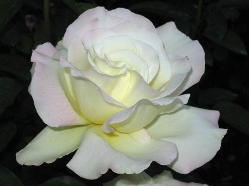 Роза Тенека (2)