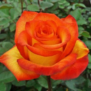 Роза чайно-гибридная Хай Буминг