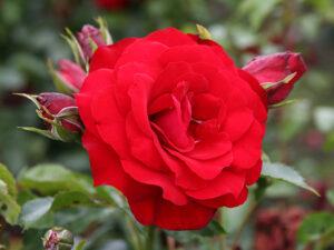 Роза Ротер Драх (Красный Дракон)