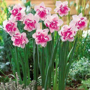 Нарцисс Розовый крупноцветковый