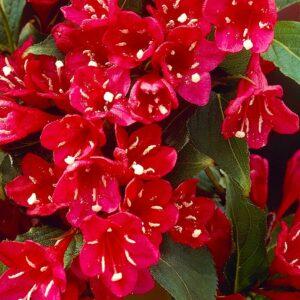 Вейгела цветущая «Ред Принц»