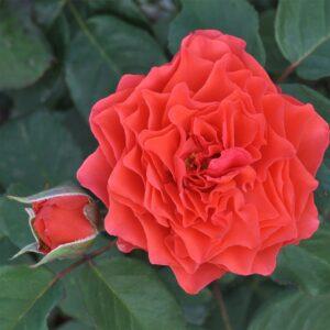 Роза Экланд де Кораил