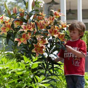 Лилия-дерево Монтего Бэй