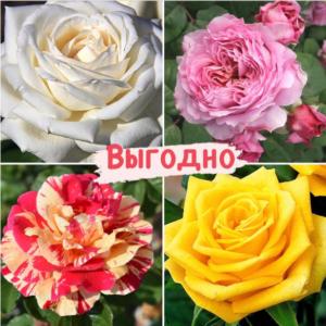 Набор Чайно-гибридные розы!