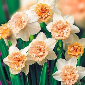 Нарцисс махровый Рози Клауд