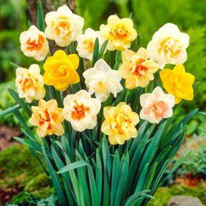 Нарцисс махровый (смесь окрасок)